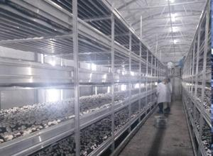 Time requirement of mushroom planting